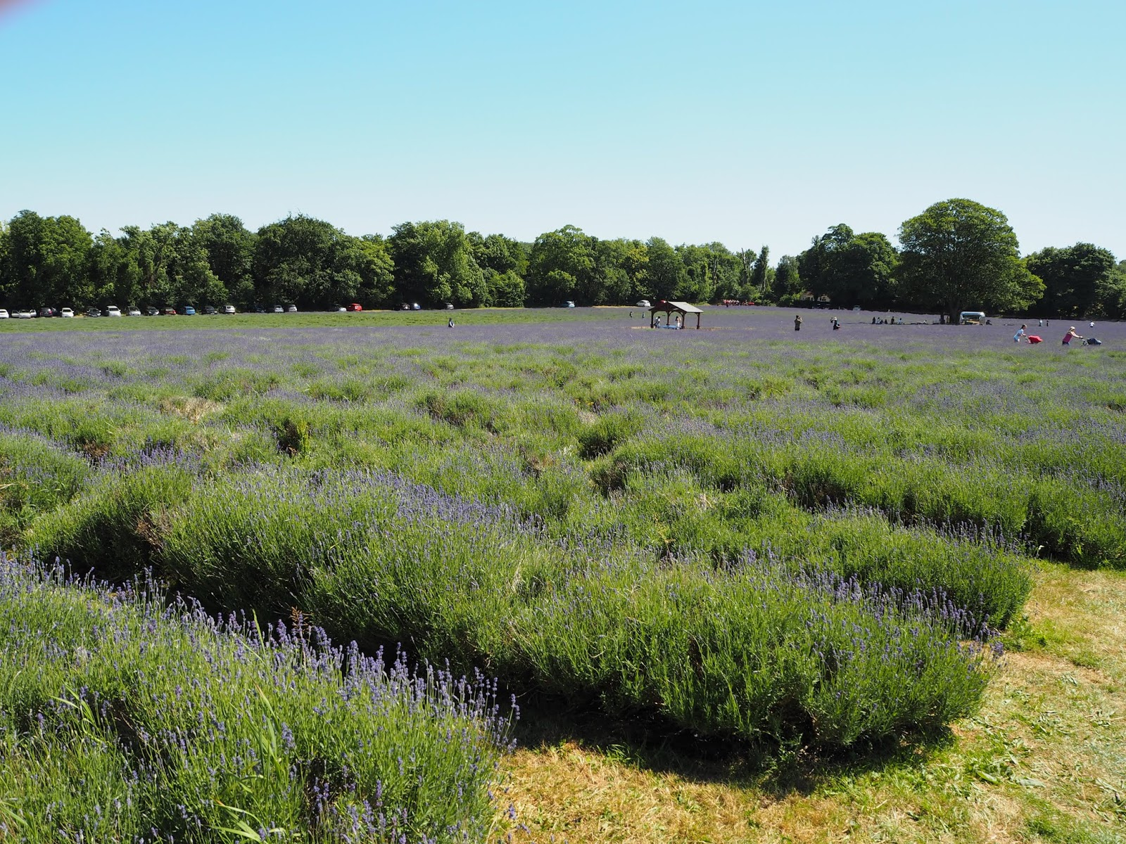 Mayfield Lavender Farm in mid June