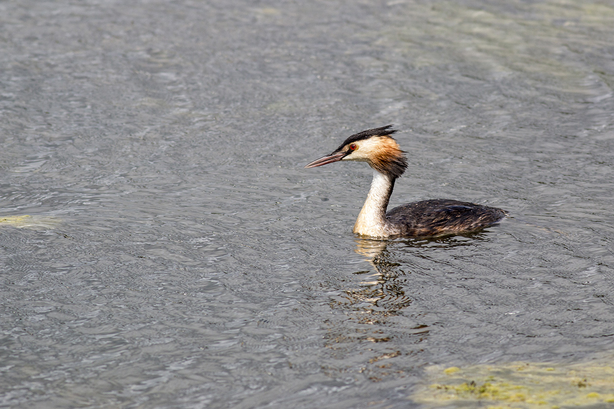 Ruff Close Encounters - Great Crested Grebe