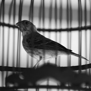 Harga Burung Sanger Terbaru 2018