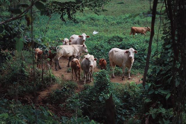 cattle scheme