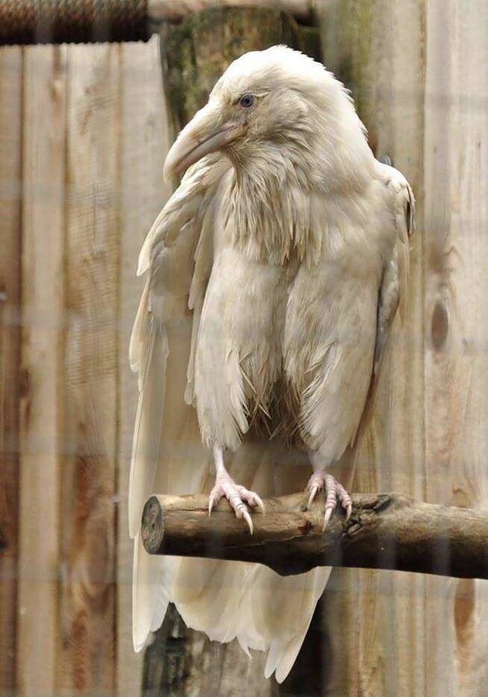 An Albino Raven