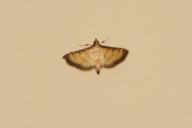 Cnaphalocrocis patnalis
