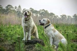 Perros Labrador