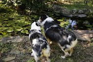 Lily and Teenie our Australian Shepherd girls