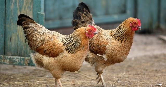 JPFA Saham JPFA   Banjir Ayam Masih Menekan Japfa, ini Rekomendasinya