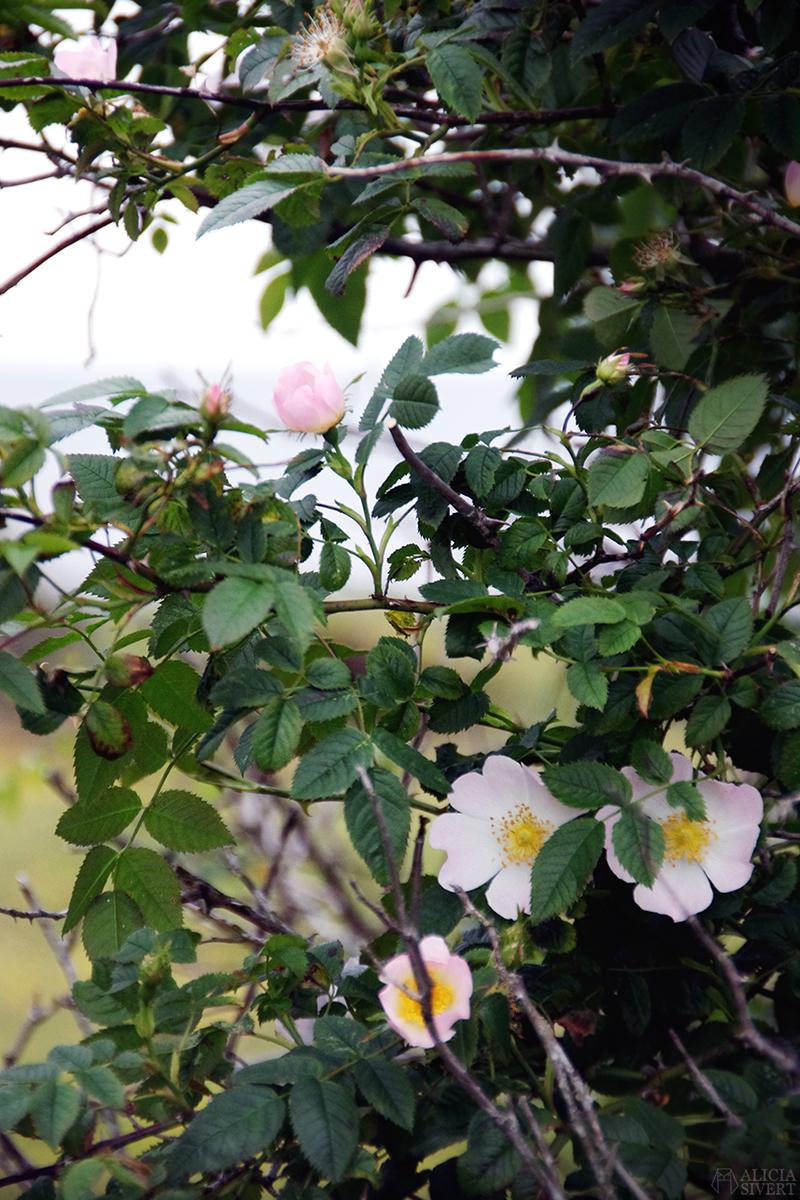 aliciasivert alicia sivertsson nyponros ros gotland blommor