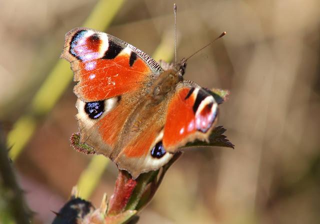 Peacock Butterfly Kilcullen