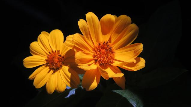 Aspilia silphioides