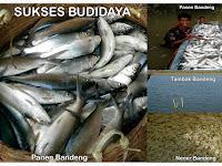 Cara Mudah Agar Ikan Bandeng Cepat Besar Dan Cepat Panen