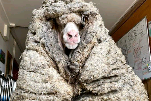 78 pounds of wool sheared from sheep found living in the wild