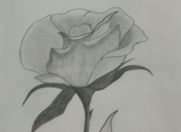 A-beautiful-rose-drawn-by-Bev