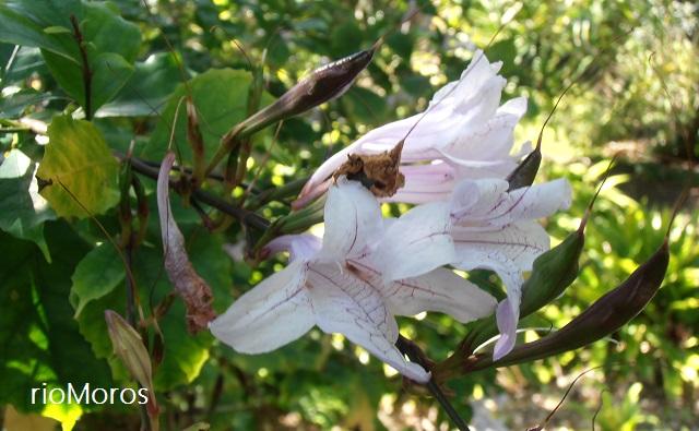 Flores y frutos de Campana de bosque Mackaya bella