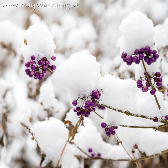 Liebesperlenstrauch mit Schnee