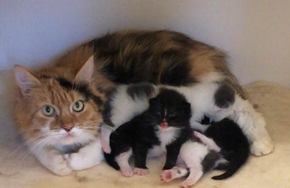 tortoiseshell cat with her litter of black and white and grey and white kittens