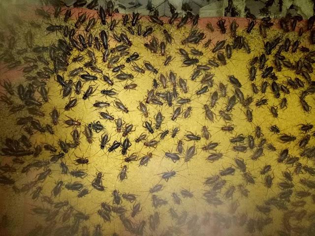 adalah sejenis serangga yang biasa kita temukan di tegalan Order WA 0858-5314-7511 Penyebaran Jangkrik di Indonesia