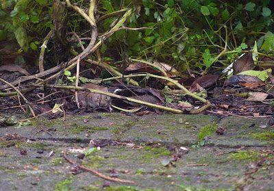 rat mice vole hedgehog