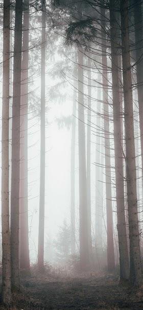 خلفية أشجار الغابة كثيفة الضباب