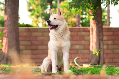 A cream-coloured dog sits in front of a red brick fence