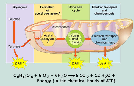 Metabolic pathways of cell respiration