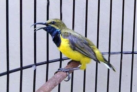 Burung Sogok Ontong Gacor