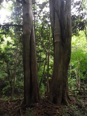 平沢沿岸のヒバの木