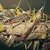 வெட்டுக்கிளிகள் தொரட்பில் அவதானமாக இருக்கும் படி கோரிக்கை