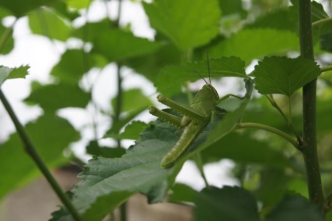 Belalang hijau di atas daun hijau