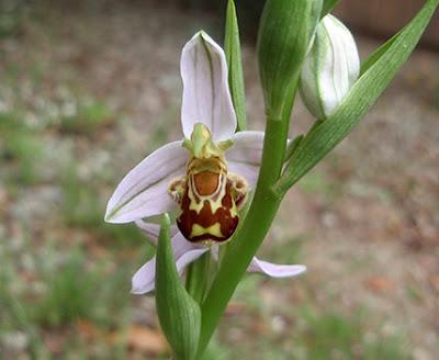Flores de Ophrys apifera