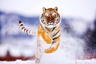 Tiger Running on Snow HD Wallpaper