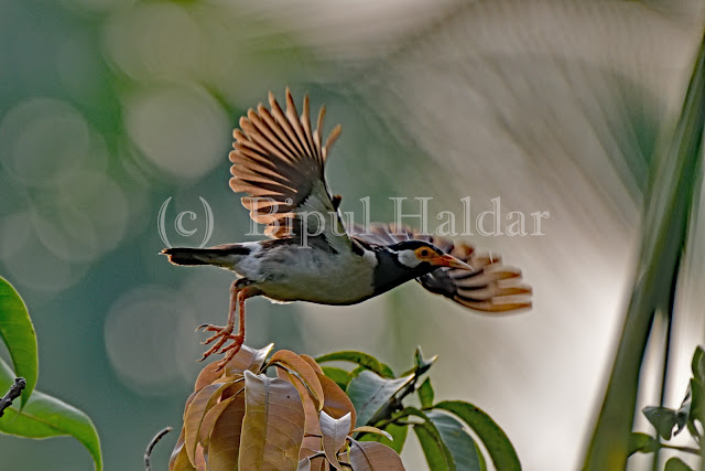 Pied Myna Taking a Flight