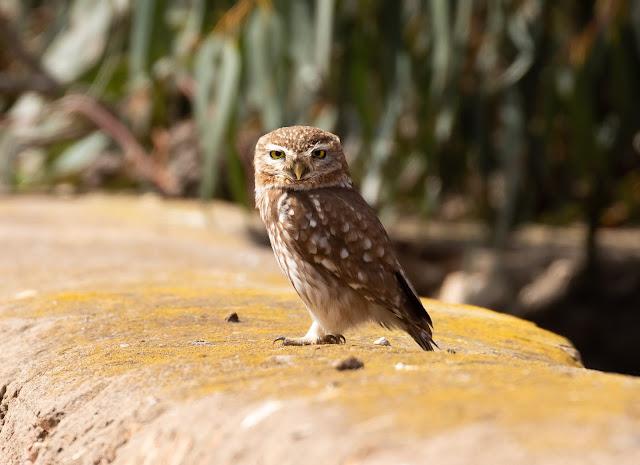 Desert Little Owl - Souss Massa, Morocco