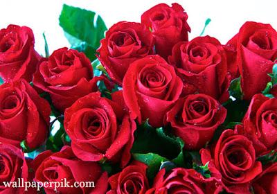best rose photo rose   wallpaper roses wallpaper