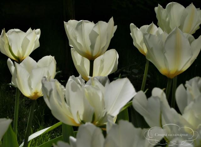 тюльпан Purissima Fosteriana, тюльпаны, сад, цветник, тюльпаны в саду, сорта тюльпанов, фото тюльпанов