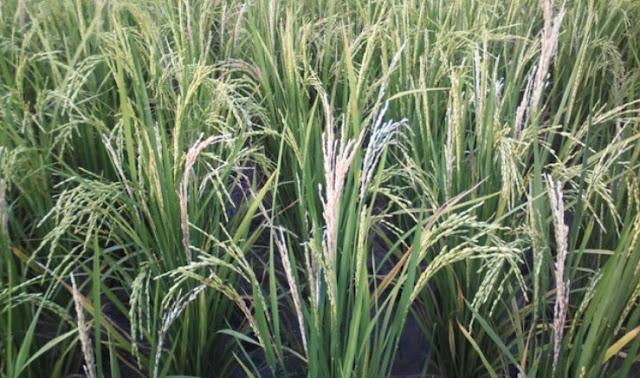 Penggerek batang padi