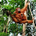Meet Orang Utan in Bukit Lawang, North Sumatera
