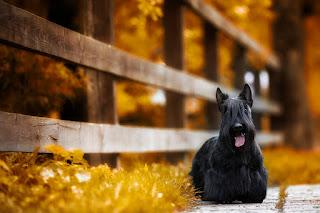 perro-schnauzer