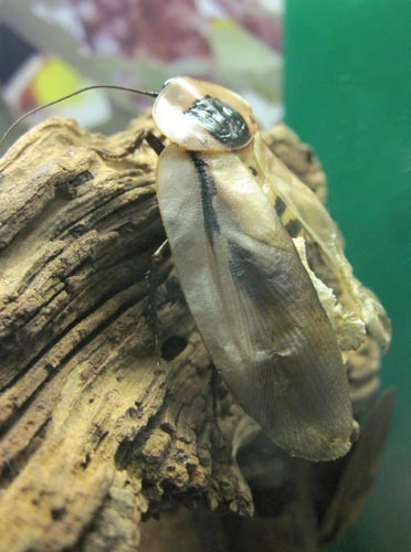 Brazilian Giant Cockroach