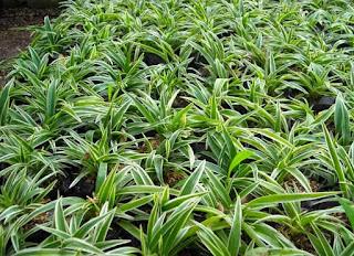 jual tanaman lili paris umbi dan lili paris hawai