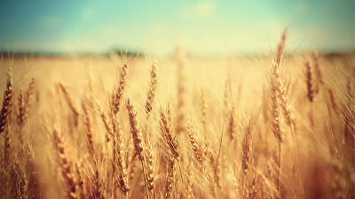 wheat-image-picture