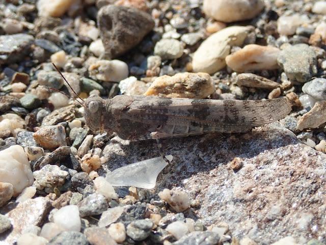 Sphingonotus corsicus
