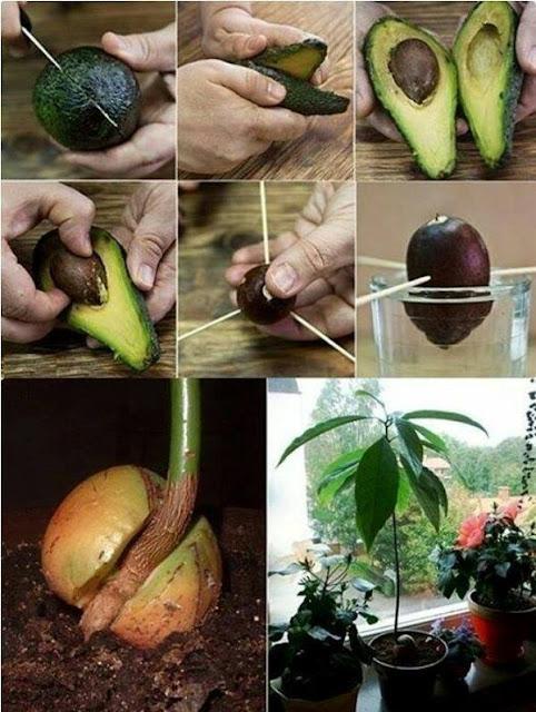 Como plantar una palta