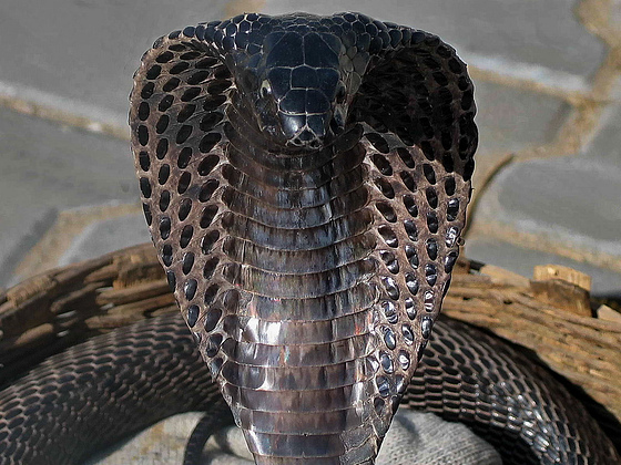Animals World: black cobra best wallpapers