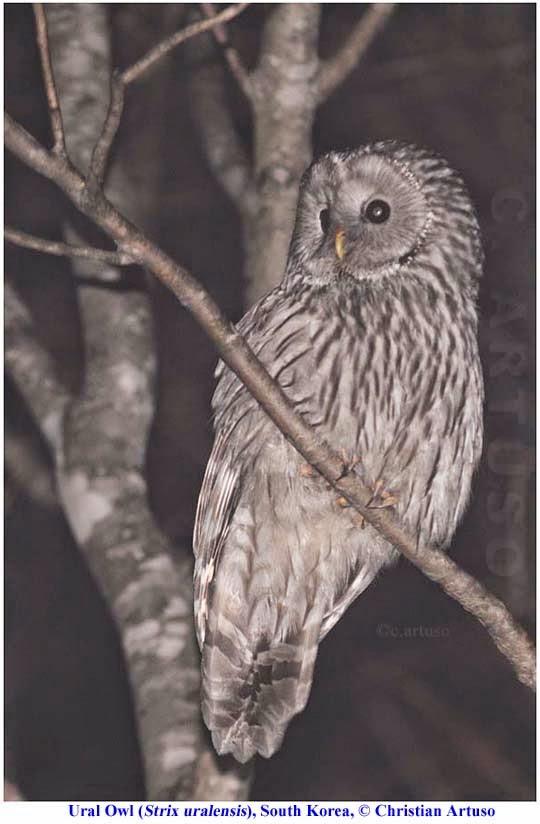 Christian Artuso: Birds, Wildlife: A few owls of South Korea - photo#44