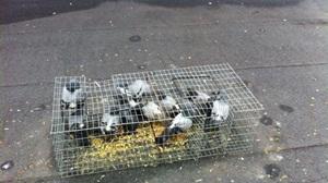 Controle com captura de Pombos