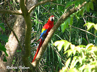 Scarlet Macaw, front view – Costa Rica – July 4, 2011 – photo by Roberta Palmer