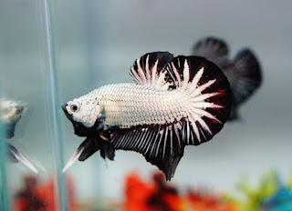 Gambar Ikan Cupang | Rekomendasi Ikan Hias Kecil Yang Cocok Untuk Aquarium Kecil