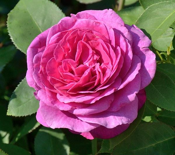 Old Port роза фото