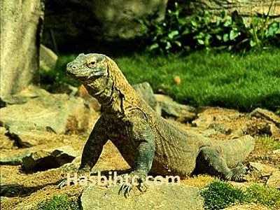 Taman Nasional Komodo Gambar Komodos