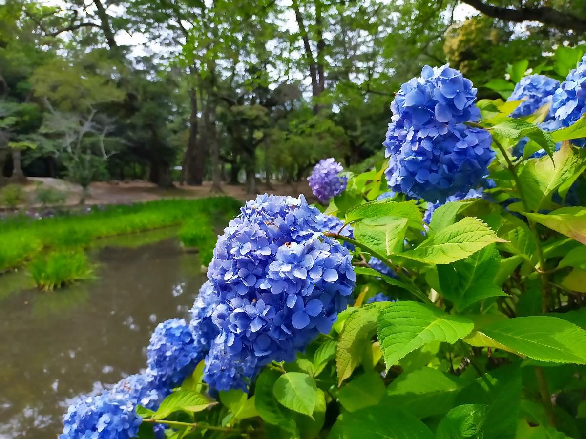 青いあじさい、池をバックに。