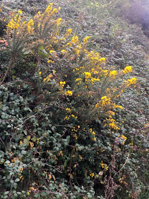 photo shows gorse bush with bright yellow flowers, againt a background of bramble bushes with dark green leaves